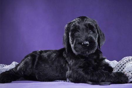 Terrier Negro Ruso