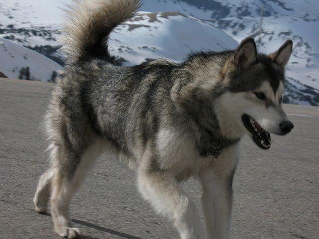 Alaskan Husky en la Nieve