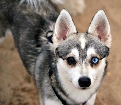 Alaskan Klee Kai ojos de diferente color