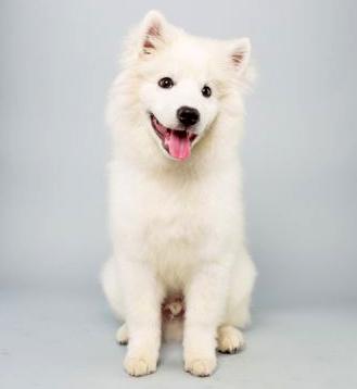 American Eskimo Dog buen ejemplar