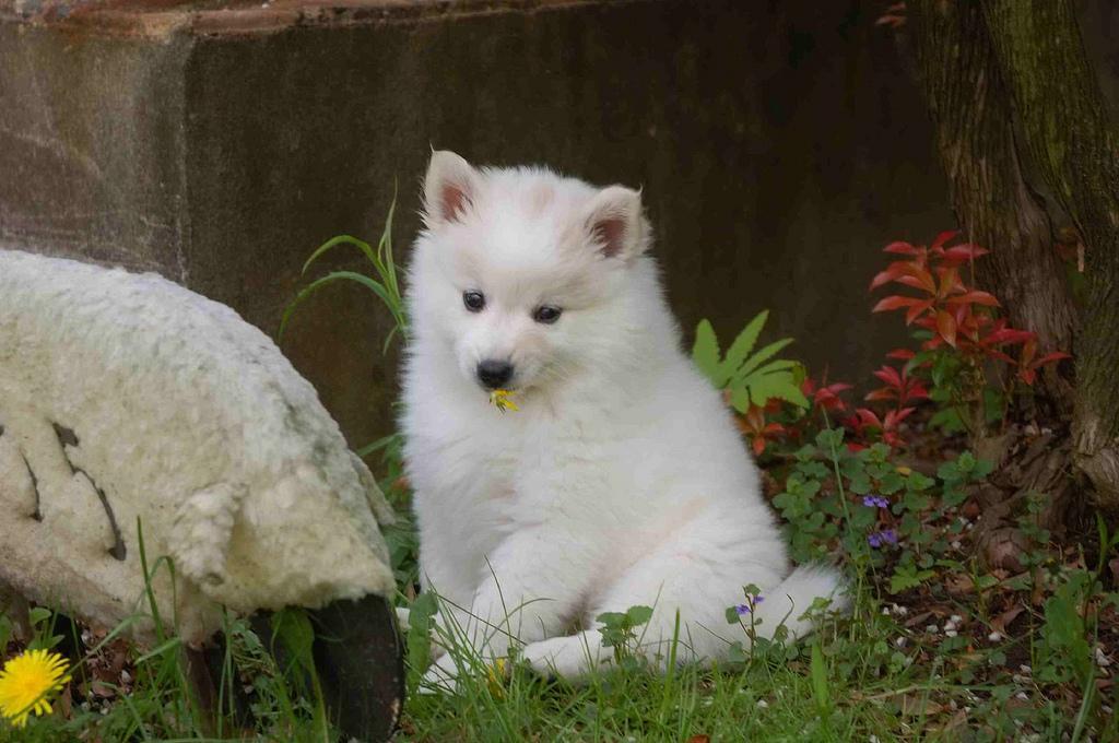 American Eskimo Dog posando