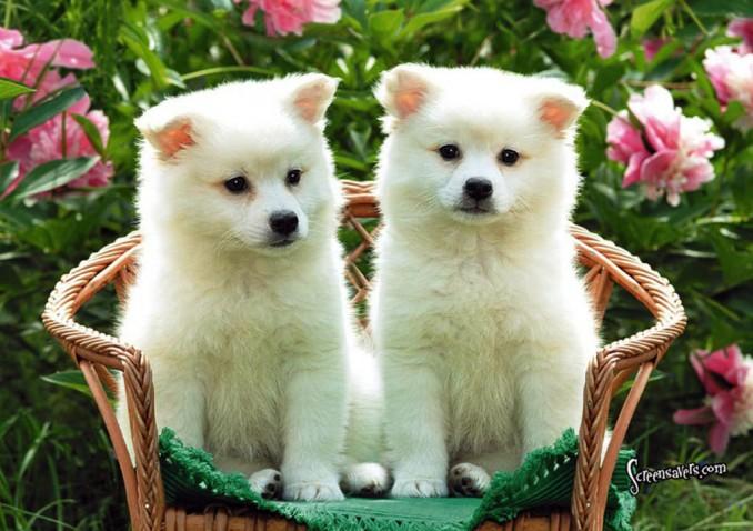Los dos mas hermosos American Eskimo Dog