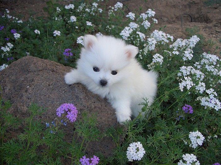 American Eskimo Dog recien nacido