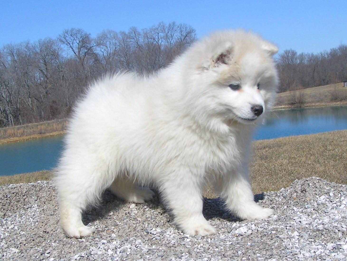 American Eskimo Dog jugando