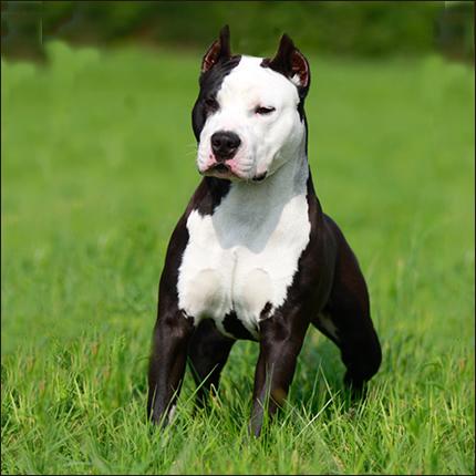 American Staffordshire Terrier libre