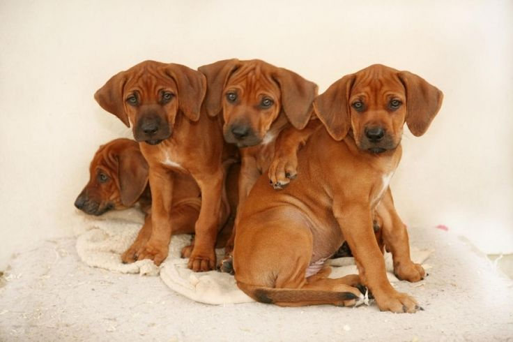 Azawakh cachorros