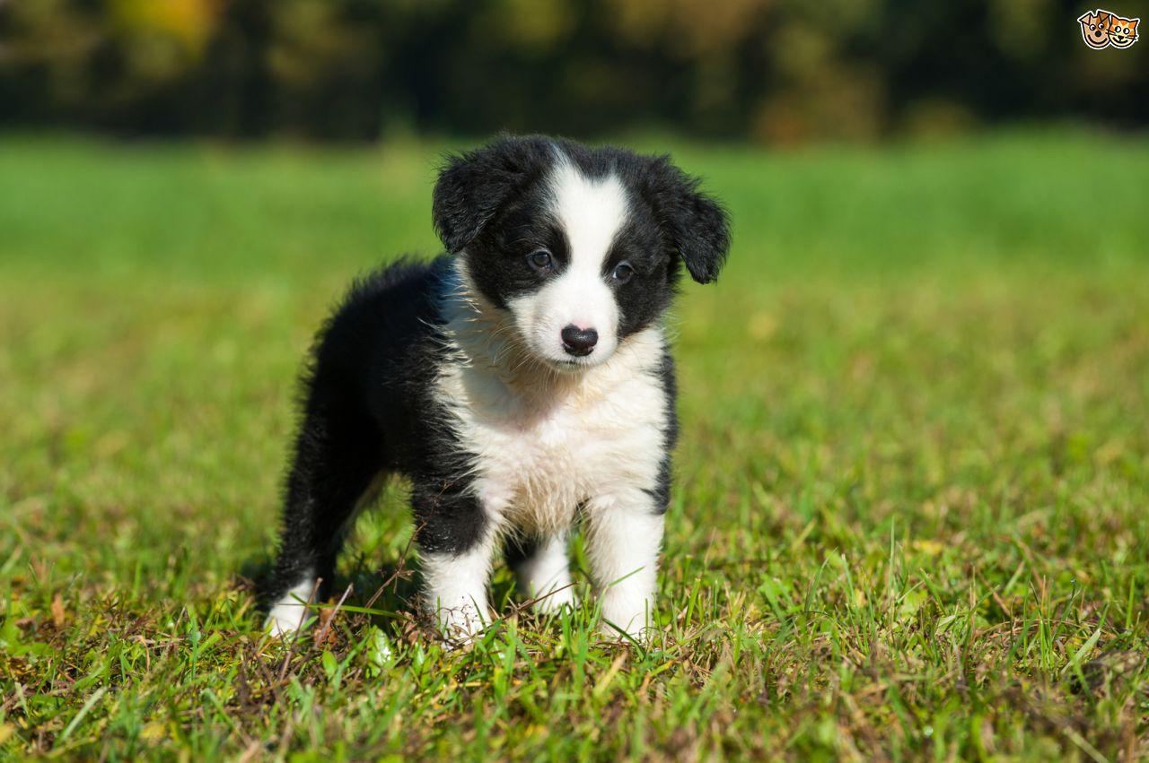 Border Collie Cachorro, Border Collie Puppies