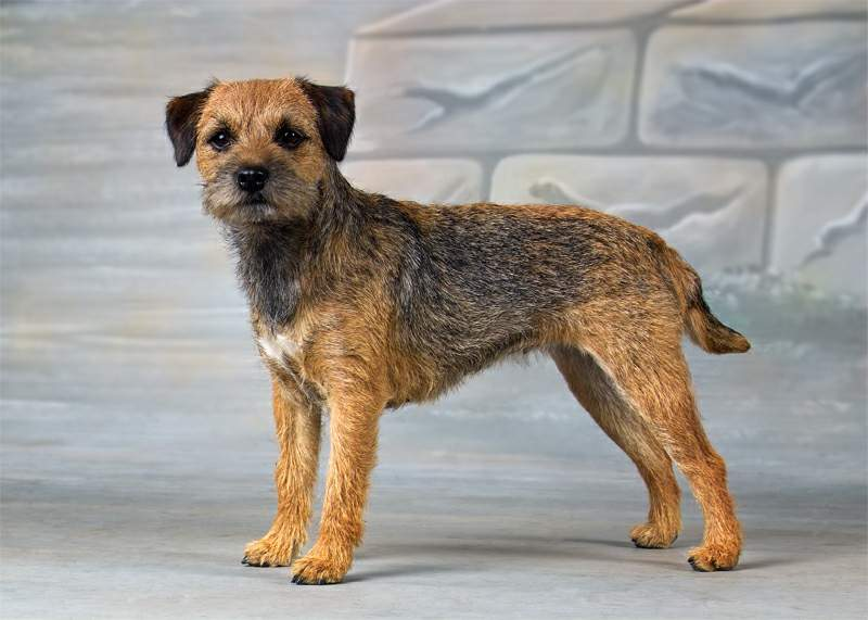 Uno de los primeros Terrier