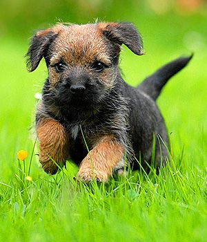 Border Terrier Cachorro, Border Terrier Puppies