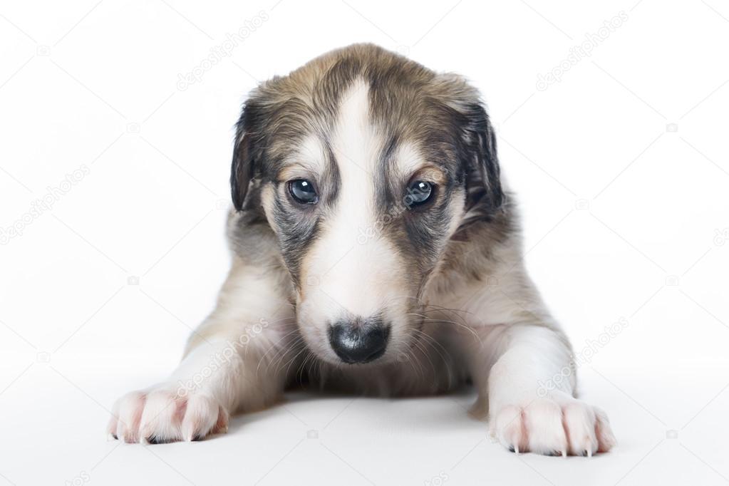 Borzoi puppies, Cachorro Borzoi, Russian Borzoi Dog