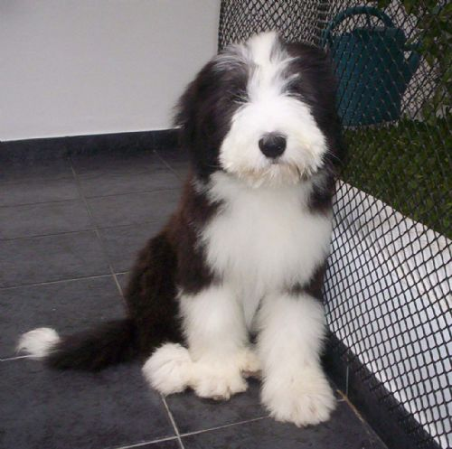 Collie Barbudo cachorro