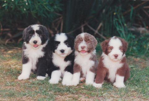Collie Barbudo familia