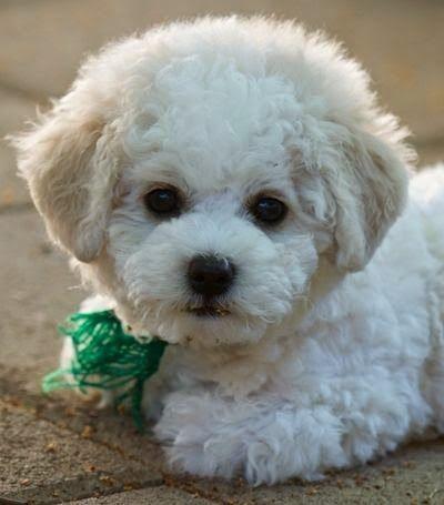 bichon frise cachorro