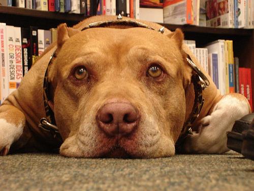 lindo Pit Bull terrier Americano