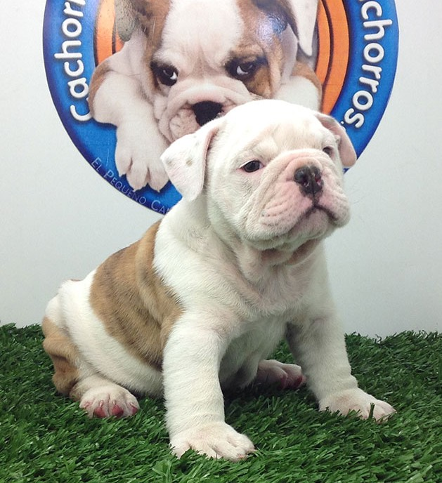 Bulldog Inglés Concurso
