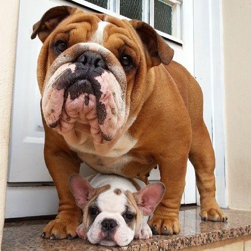 Bulldog Inglés Familia