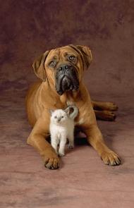 Bullmastiff With Cat