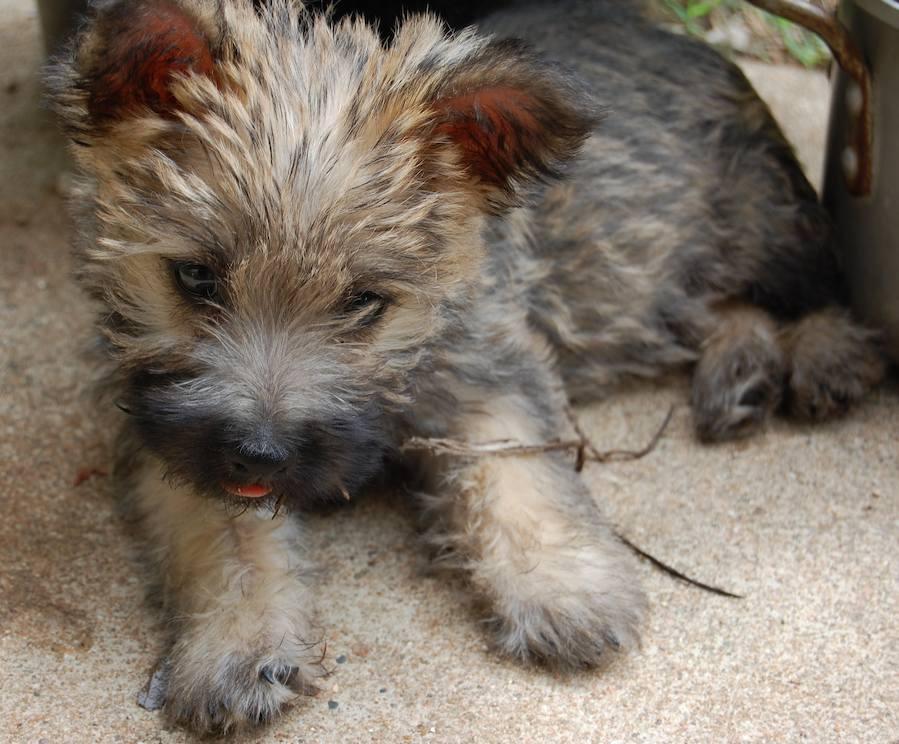 Cairn Terrier Shy