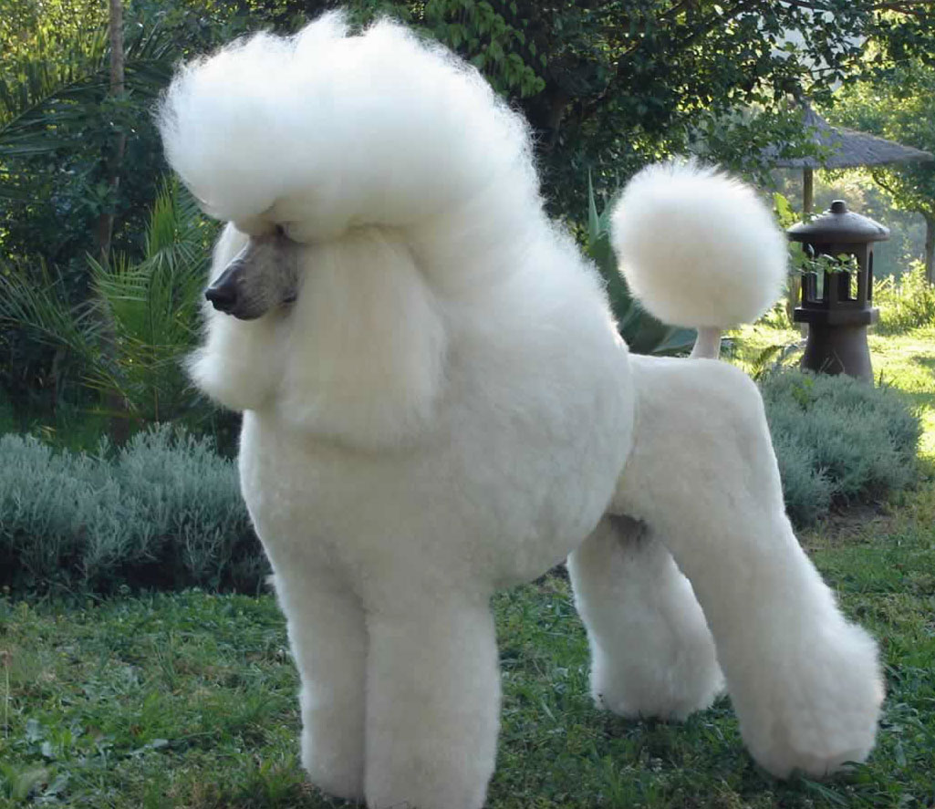 Caniche Poodle Caniche Mini Toy Caniche Toy Perritos