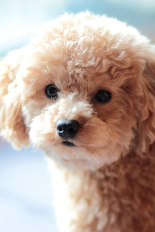 Caniche Poodle Caniche Mini Toy Caniche Toy Perritos Bebes