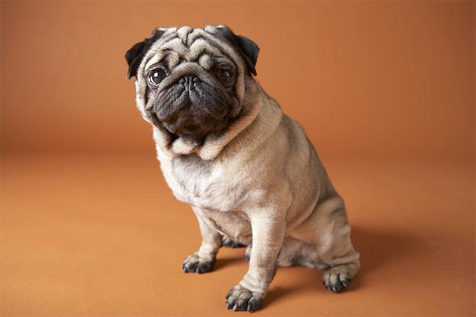 Pug Modelo