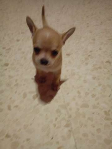 Perro Chihuahua Mini Chihuahua Chihuahua Toy Puppies