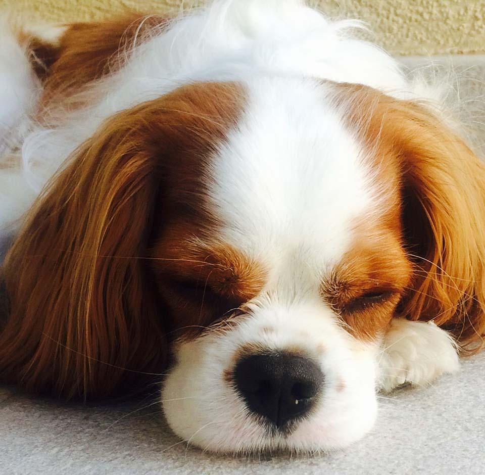 cavalier_king_charles dormido
