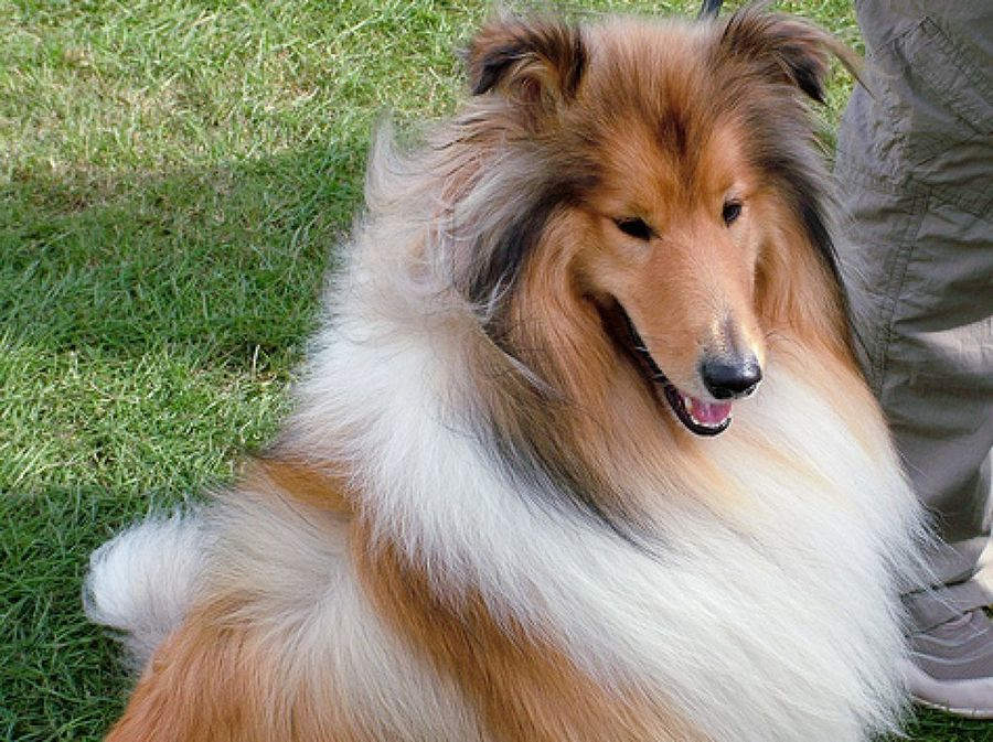 Collie lazzy