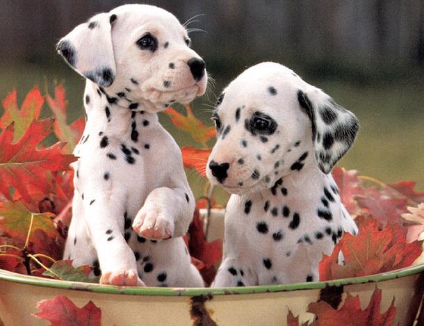 Dalmata Perro, Dalmata Cachorro, Dalmata Puppies