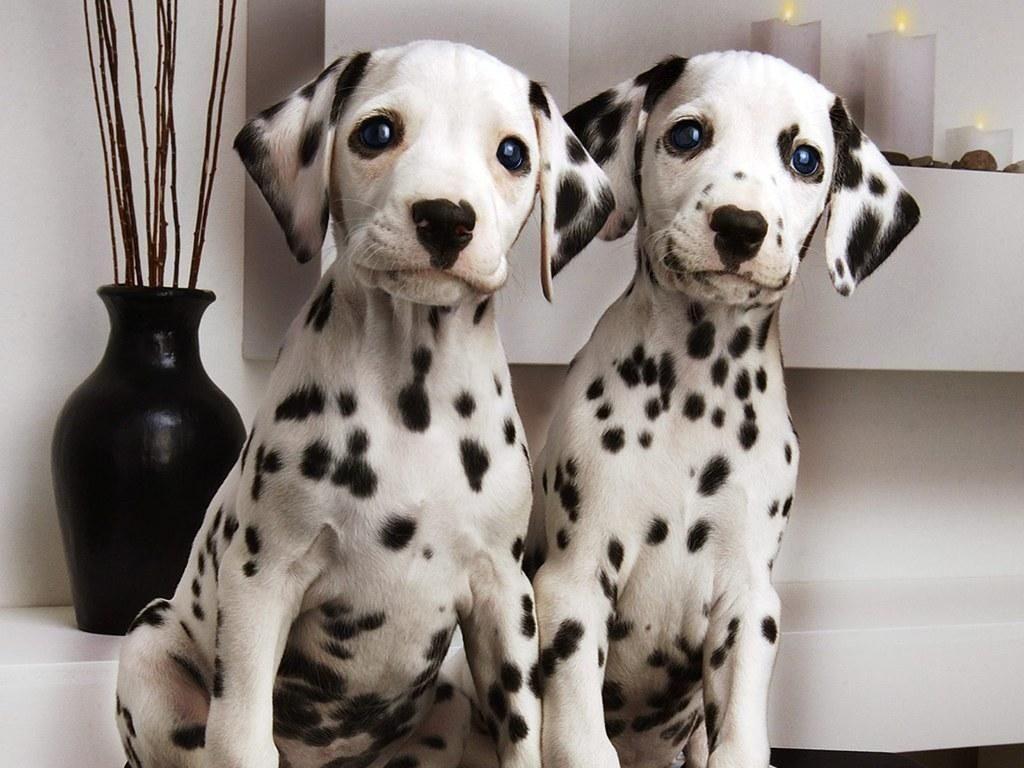 Dalmata Perro, Dalmata Cachorro, Dalmata Puppies - Perritos Bebes