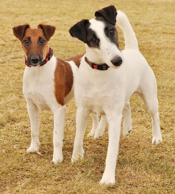 Fox terrier pareja