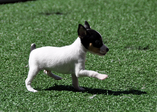 Fox Bebes Terrier TerrierToy Perritos DogMini wP0On8k