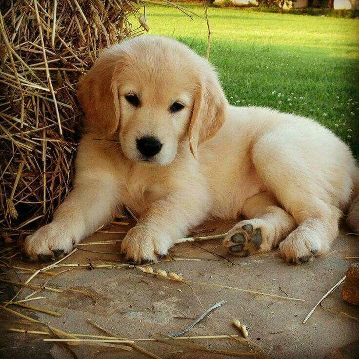 Golden Retriever cansado
