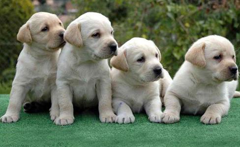 Labrador Retriever familia