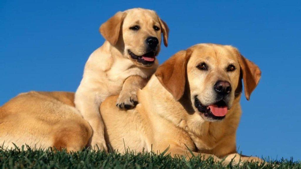 Labrador Retriever padre e hijo