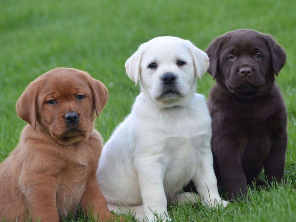 Labrador Retriever Dog, Labrador Retriever Chocolate