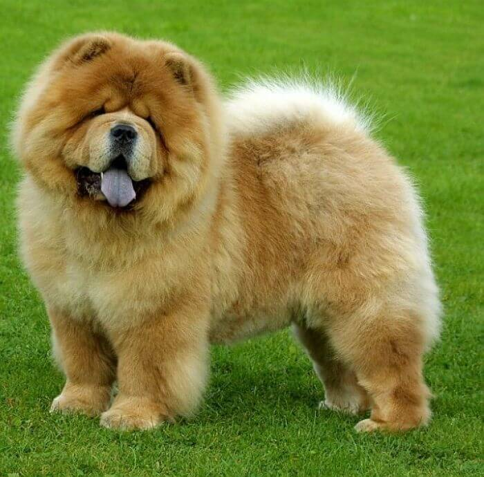 chow chow amarillo
