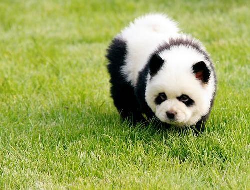 chow chow panda en la hierba