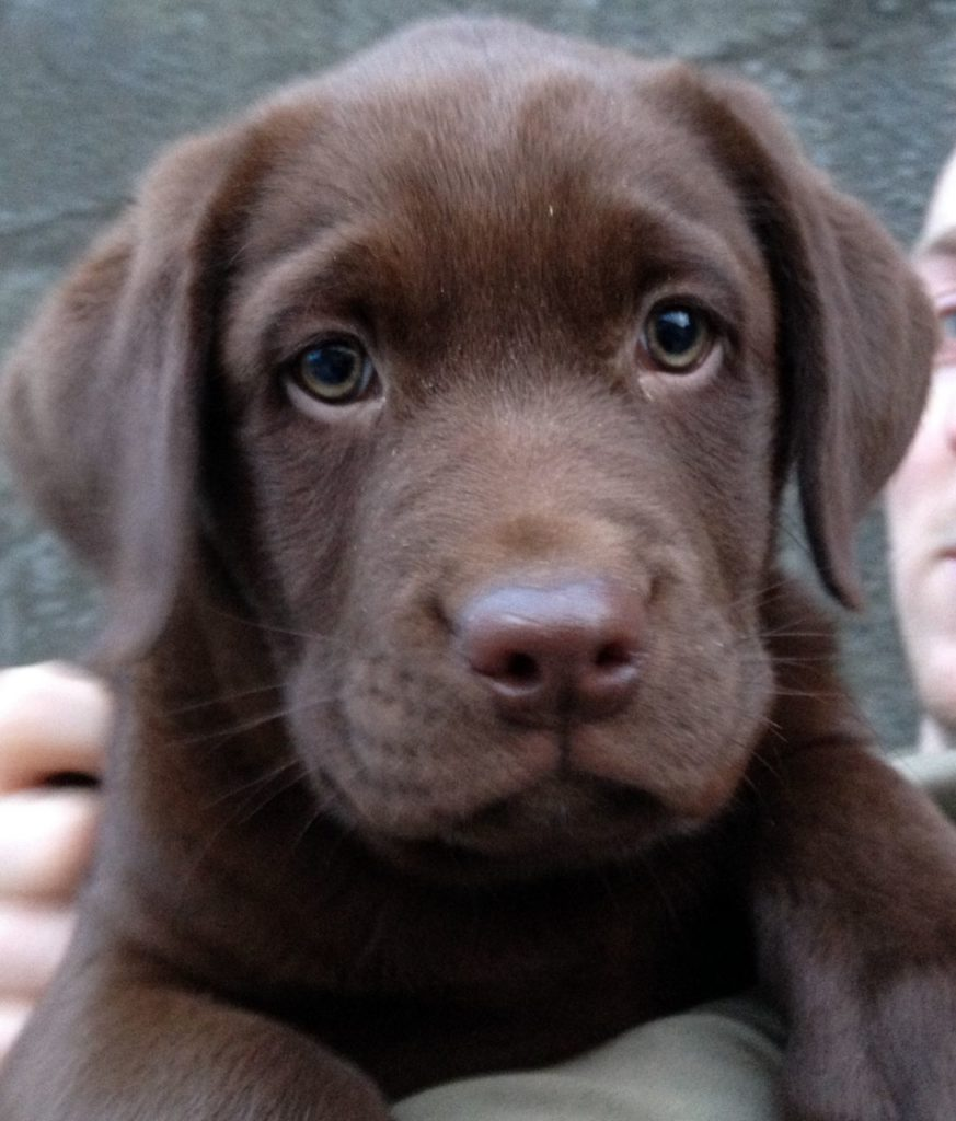 Labrador Retriever Dog Labrador Retriever Chocolate
