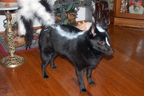 perro disfraz zorrino