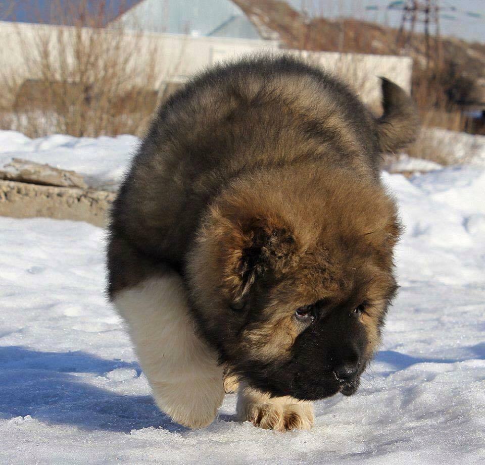caucasian ovcharka bebe