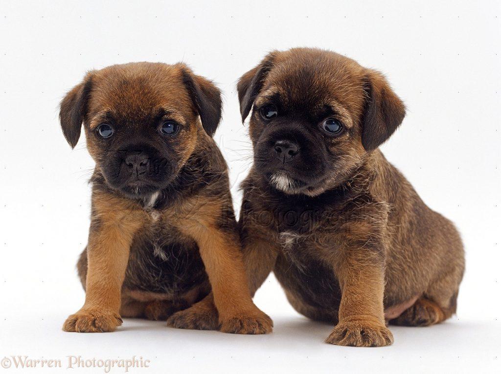 border terrier tiernos