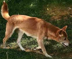 Perro Cantor de las montañas